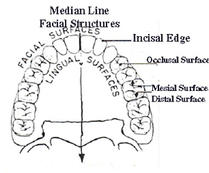 direction-and-positions-of-teeth